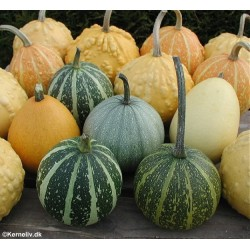 Cucurbita, Ornamental Gourds