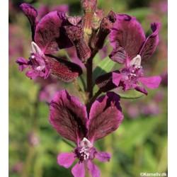 Cuphea lanceolata 'Purple...