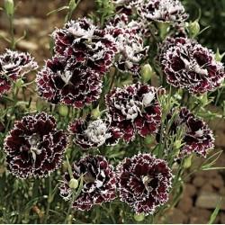Dianthus chinensis...