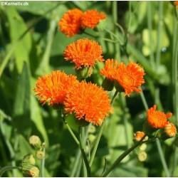 Emilia coccinea, Tassel Flower