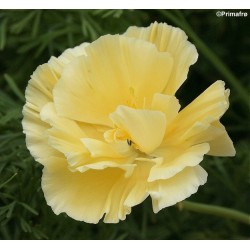 Eschscholzia californica...