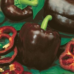 Sweet Pepper 'Chocolate'
