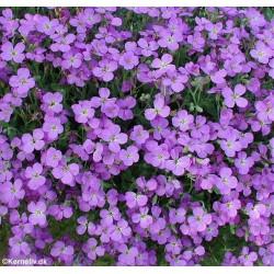 Aubrieta hybrida 'Purple',...
