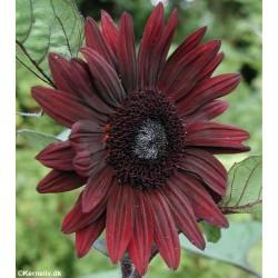 Helianthus annuus 'Black...