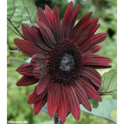 Helianthus annuus 'Black...