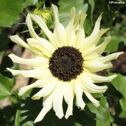Helianthus debilis 'Vanilla...