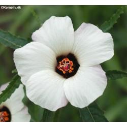 Hibiscus trionum 'Luyona',...