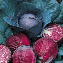 Cabbage, Red 'Red Drumhead'
