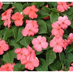Impatiens walleriana 'F1...