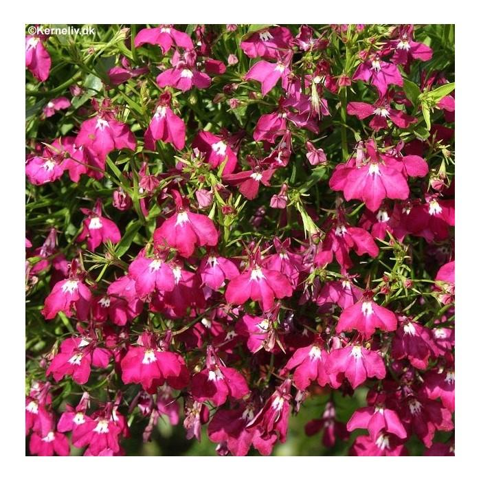 Small Ornamental Grasses With Purple Flowers Lobelia pendula 'Red c...