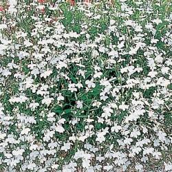 Lobelia pendula 'White...