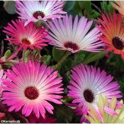 Dorotheanthus bellidiformis...