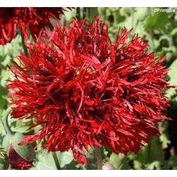 Papaver laciniatum 'Crimson...