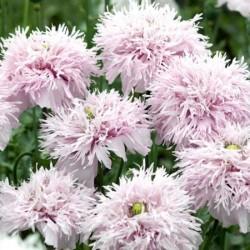 Papaver laciniatum 'Lilac...