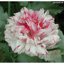 Papaver paeoniflorum...