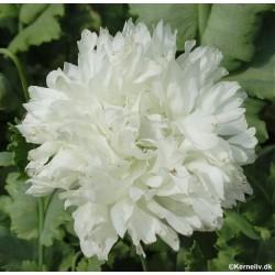 Papaver paeoniflorum 'White...
