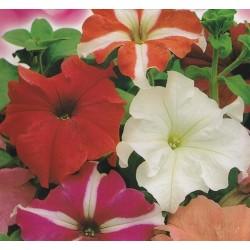 Petunia x hybrida 'Mixture'