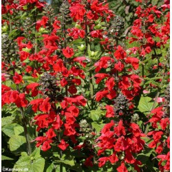 Salvia coccinea 'Lady in...