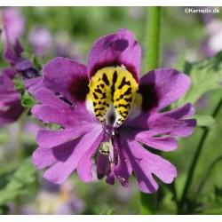 Schizanthus wisetonensis...
