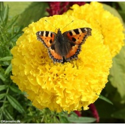 Tagetes erecta 'Lemon',...