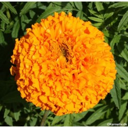 Tagetes erecta 'Orange',...