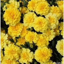 Tagetes patula nana 'Lemon...