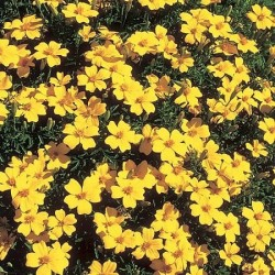 Tagetes tenuifolia 'Lulu',...