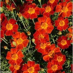 Tagetes tenuifolia 'Red...