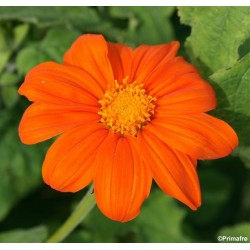 Tithonia rotundifolia...