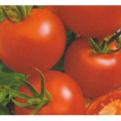 Tomato 'Dafne F1'