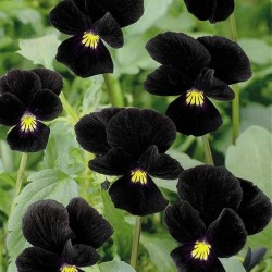 Viola cornuta 'Midnight...