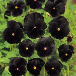 Viola x wittrockiana 'Black...