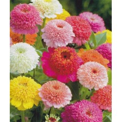 Zinnia 'Scabiosa mixture'