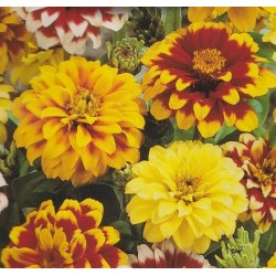 Zinnia haageana 'Mixture',...