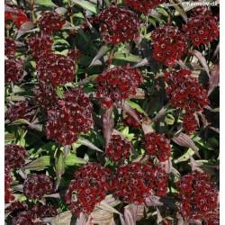 Dianthus barbatus 'Black...