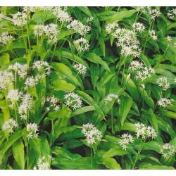Allium ursinum, Ramsløg