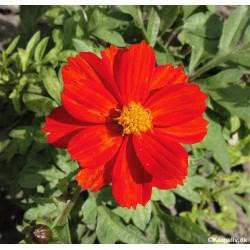 Cosmos sulphureus 'Red',...