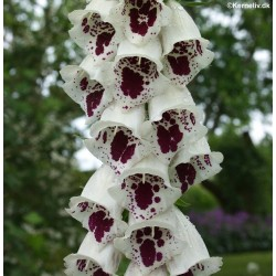 Digitalis purpurea 'Elsie...