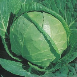 Cabbage, Summer 'Glory of...