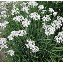 Allium tuberosum, Garlic...