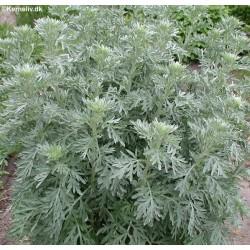Artemisia absinthium, Malurt