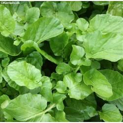 Barbarea vulgaris, Vinterkarse
