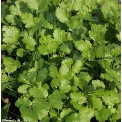 Coriandrum sativum, Coriander