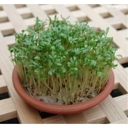 Garden Cress (Lepidium...