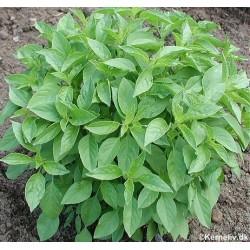 Ocimum basilicum 'Lime', Basil