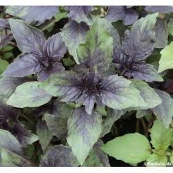 Ocimum basilicum 'Ararat',...