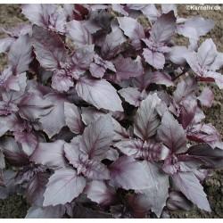 Ocimum basilicum 'Red...