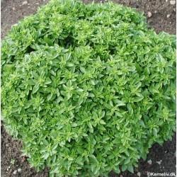 Ocimum basilicum 'Bush',...