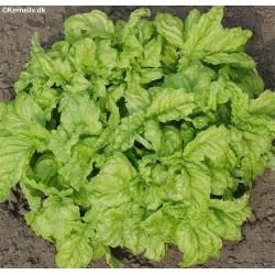 Ocimum basilicum 'Lettuce...