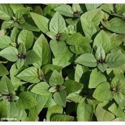 Ocimum basilicum 'Yiotis',...